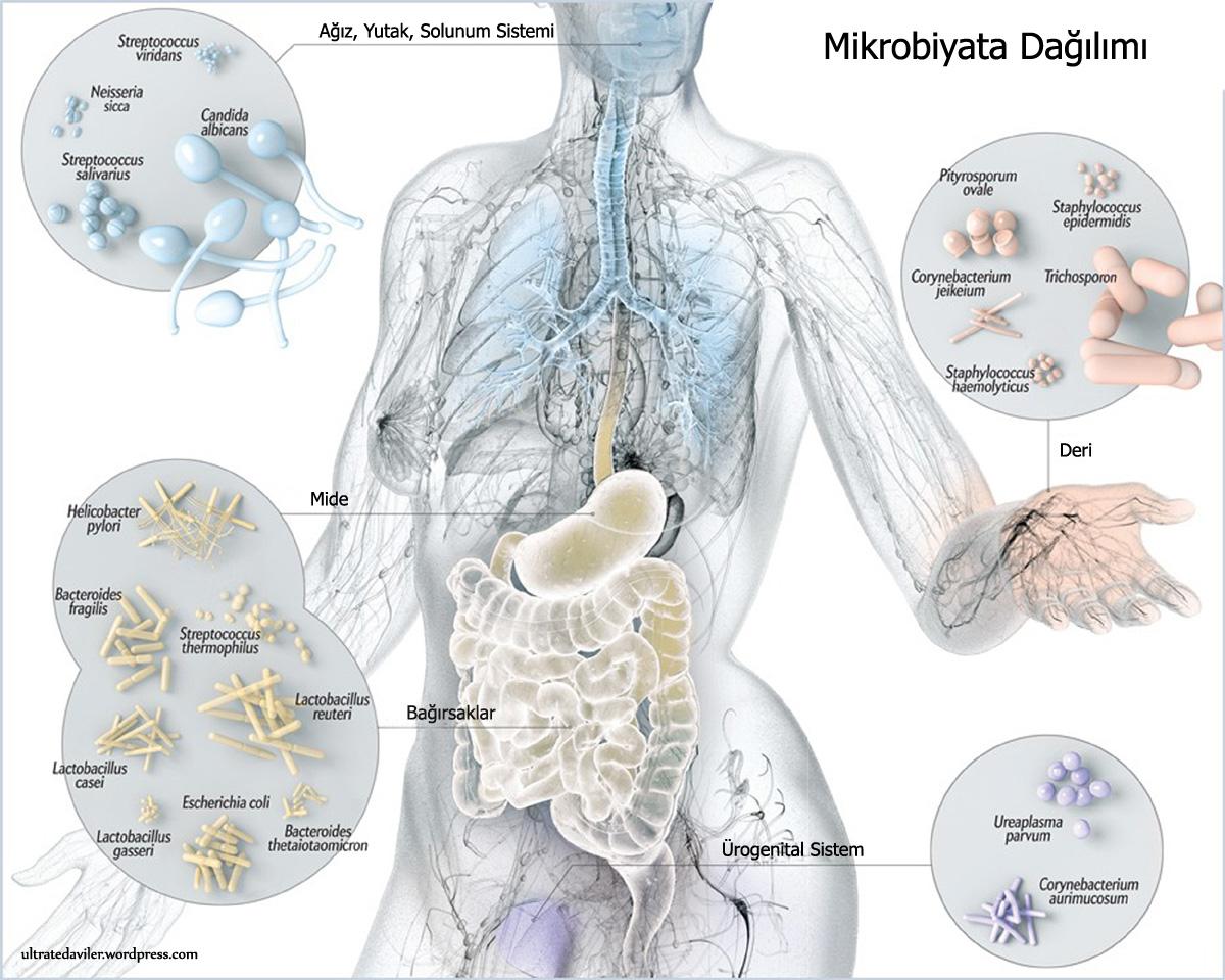 Mikrobiyota -  - Zayıflamak, Online Diyet, Mikrobiyota, Mide, Diyetisyen, Diyet, Beslenme